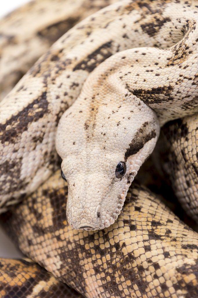 hog island boa Google Search Schöne schlangen, Schlangen