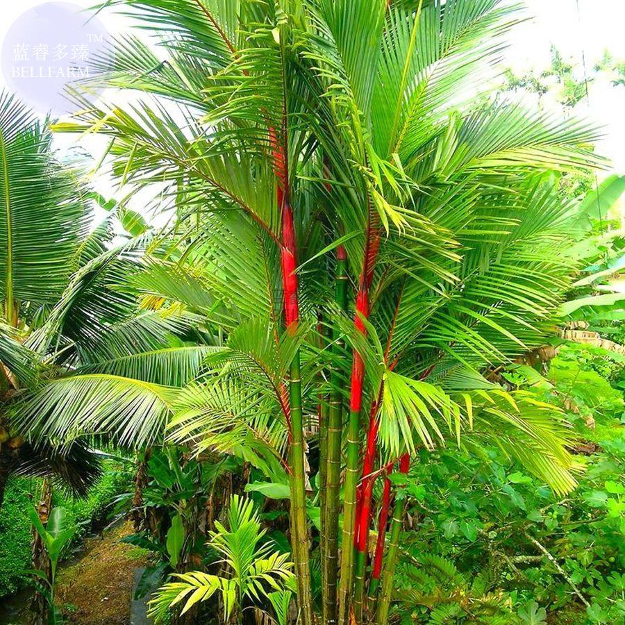 South Florida Tropical Landscape Ideas Planter Container: BELLFARM Lipstick Palm Cyrtostachys Renda Tree, 10 Seeds