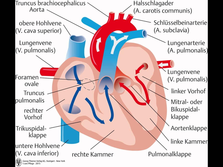 herz anatomie und physiologie Die Anatomie und Physiologie des Herz ...