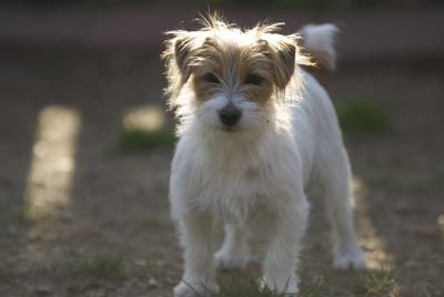 I got to play with the cutest wire-haired jack russell terrier named Gabby today....now I want one...along with my future french bulldog puppy.