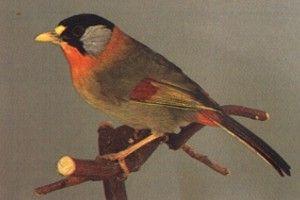 Vogel Foto Zilveroornachtegaal