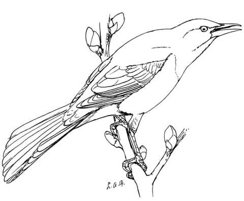 Common Grackle coloring page from Grackle category Select