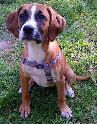 Bogle Beagle Boxer Boxer Beagle Mix Dog Breed Info Beagle Mix
