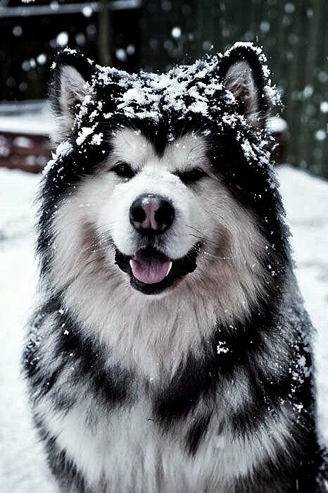 Pin By Happy13674 On Pups Alaskan Dog Alaska Dog Alaskan Malamute