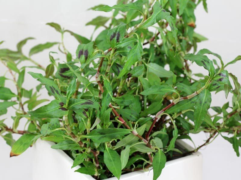 How To Choose Mint And How To Grow It Mint Garden Mint Plants