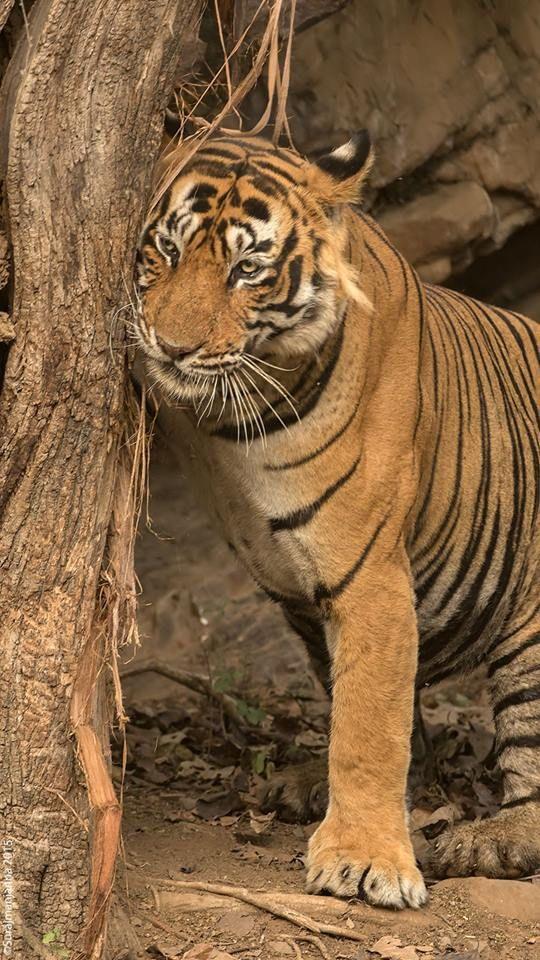 Пин от пользователя Zoo на доске Tigers (с изображениями)