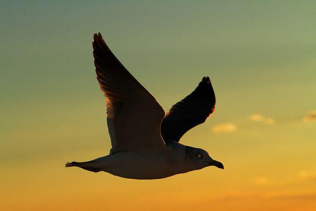 *Seagull.
