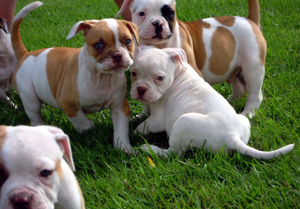 Abra Registered Litters Added Dailey American Bulldog Puppies