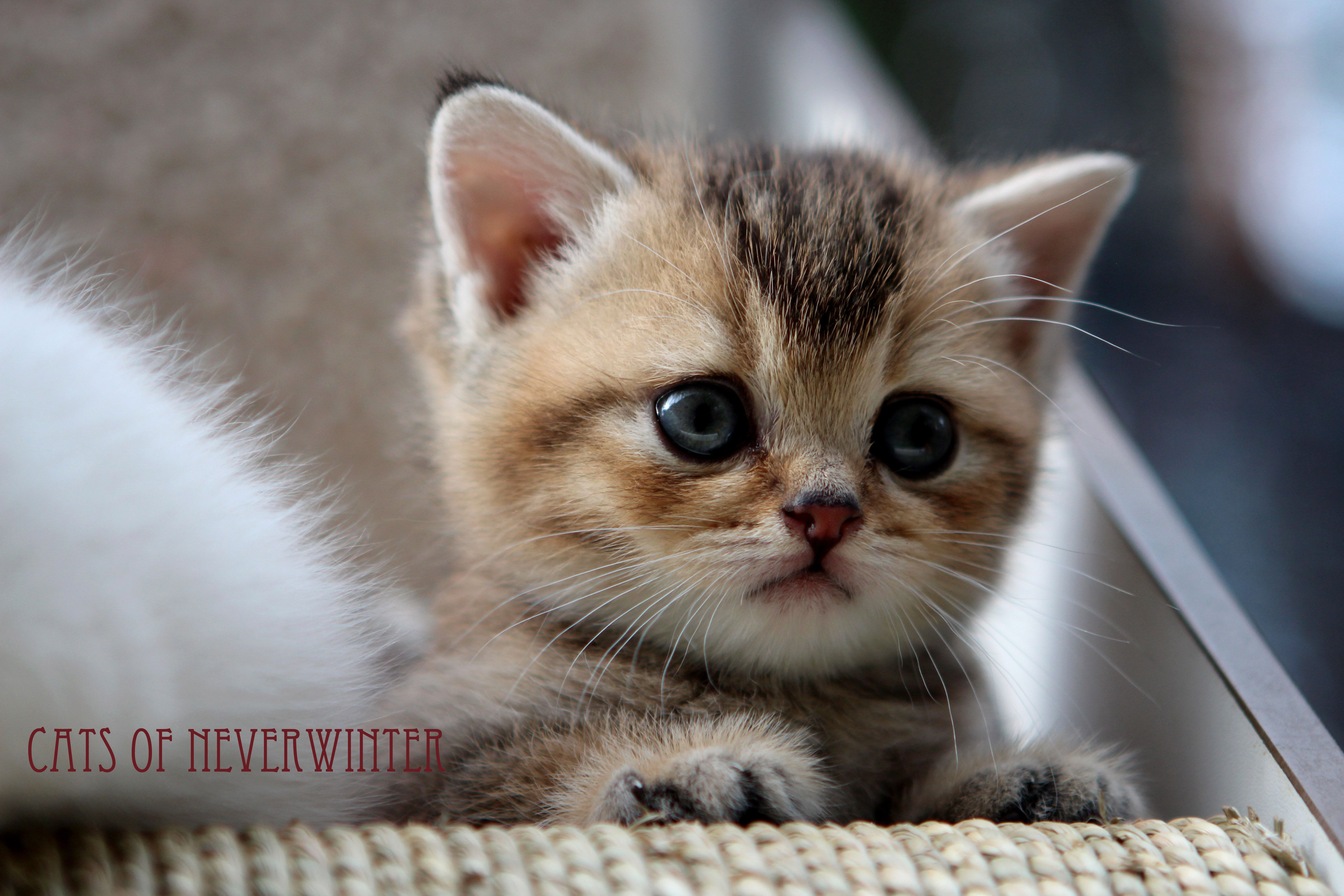 Our British Shorthair Kittens From Gaia Stars Stud From Feline Magic Georgie Porgie Pudding And Pie British Shorthair British Shorthair Kittens Kittens