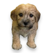 Yorkichon Puppies for sale, Puppies, Puppy adoption