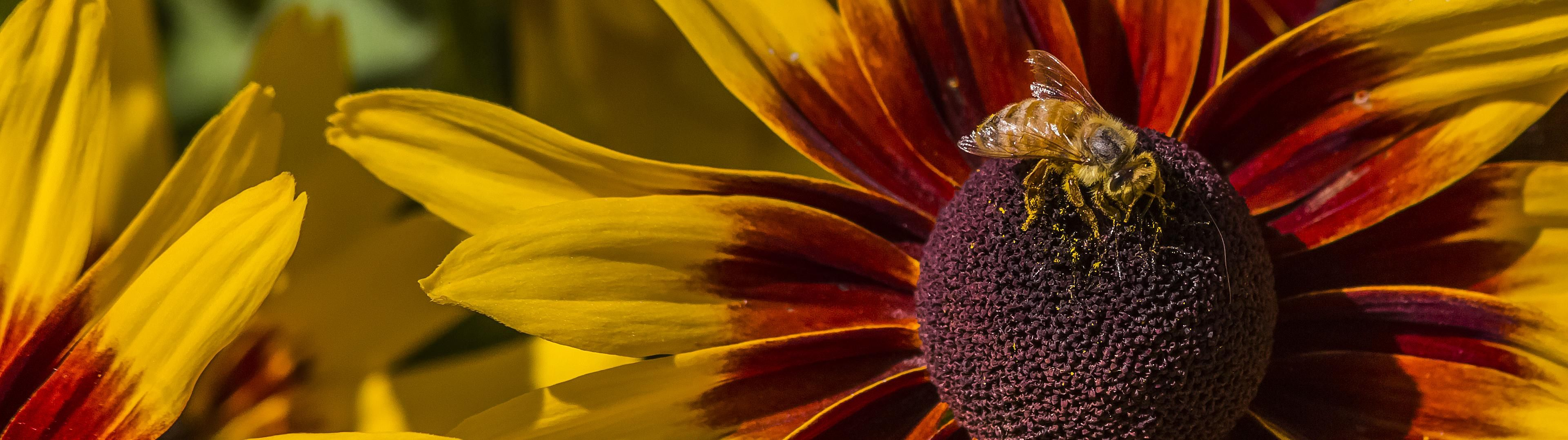 Dual screen flower and bee (3840x1080) Flowers, Wallpaper