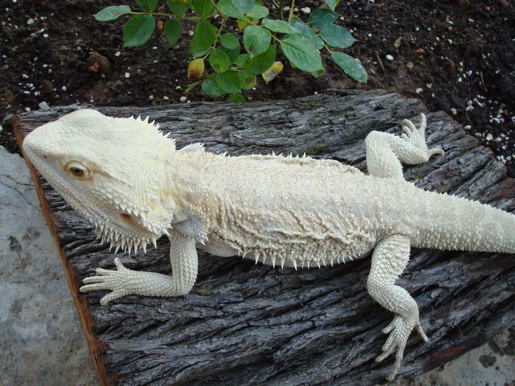 Bearded Dragon   Leucistic Animals   Pinterest   Animales
