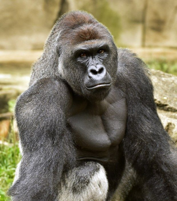 A June 20, 2015 photo provided by the Cincinnati Zoo and Botanical Garden shows Harambe, a western lowland gorilla, who was fatally shot Saturday, May 28, 2016, to protect a 4-year-old boy who had entered its exhibit.