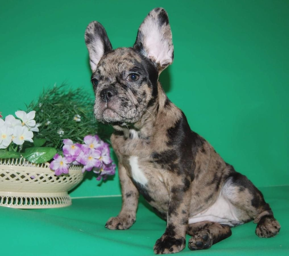 Blue Brindle French Bulldog Puppy Female Brindle French Bulldog