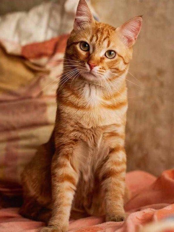 Pretty orange tabby! Orange tabby cats, Orange cats