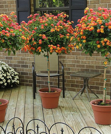 The Lantana Plant A Bright Sun Loving Plant Producing Flowers In Abundance And Rewarding You With Lots Of Color Master Patio Trees Patio Plants Potted Trees