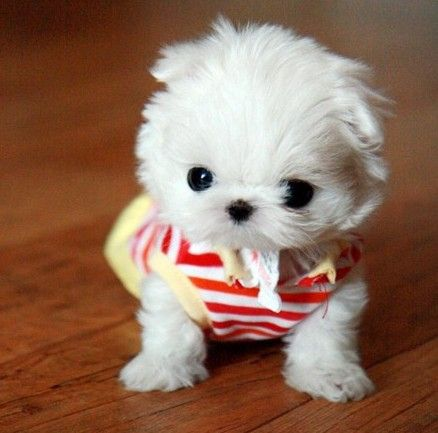 Cute Little White Dog Cute Puppy Pictures Teacup Puppies