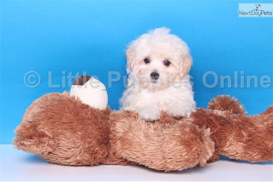 Kiki Female Malti Poo Malti Poo Maltipoo Puppy For Sale Near