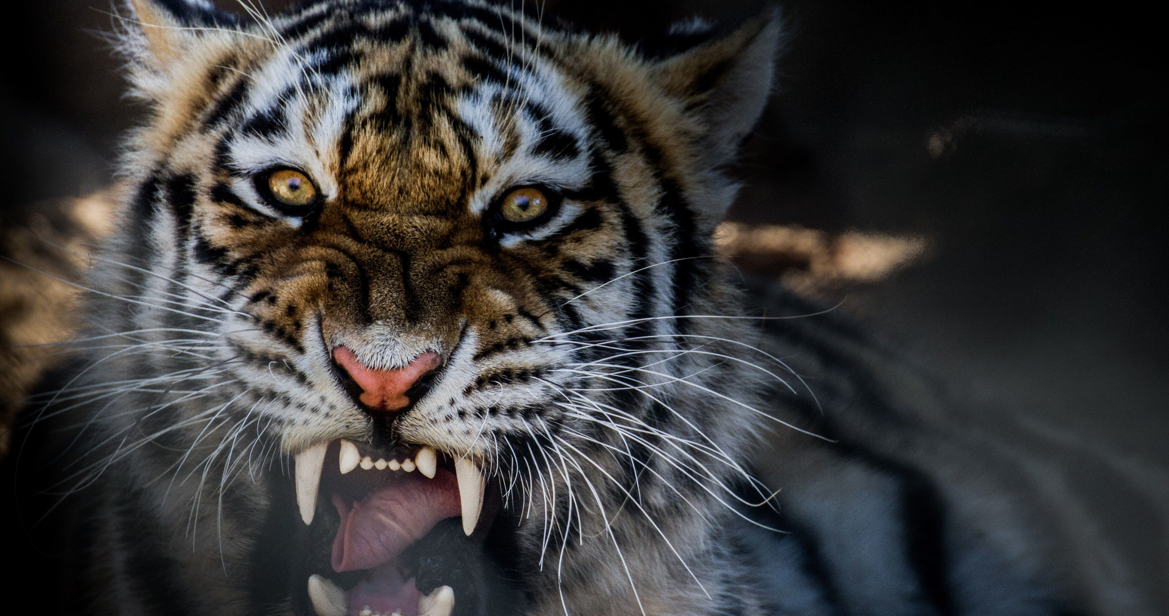 Growling Tiger 4k Ultra Hd Wallpaper Pet Tiger Animals Tiger Pictures