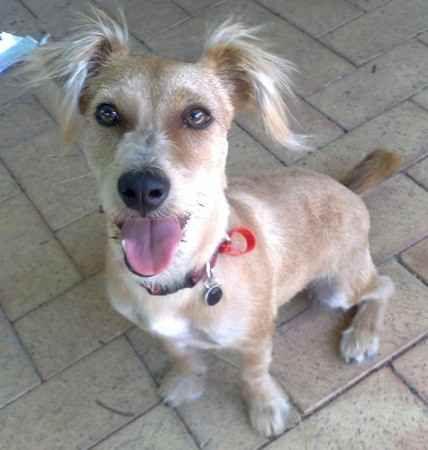 The Rustralian Terrier Australian Terrier Jack Russell Terrier Australian Terrier Designer Dogs Jack Russell Terrier