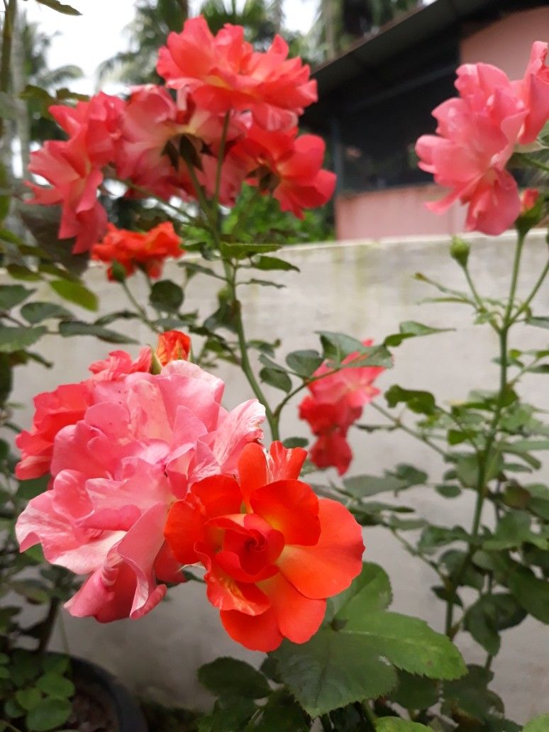 Stripped Rose Rose Plant Care Planting Roses Rose Care