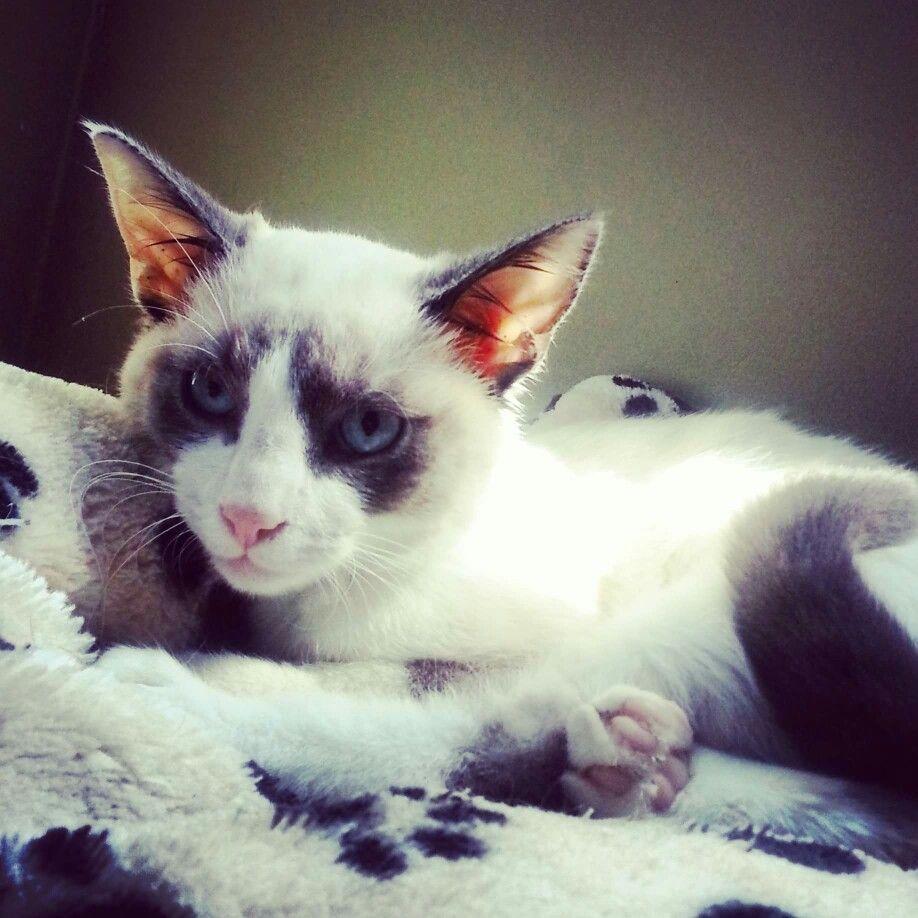 #siamese cat