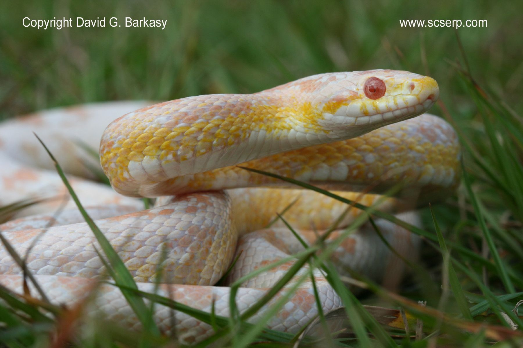 I Owned A Snow Corn Snake Once They Grow To Roughly 5 Feet They Eat Mice Fish Or Crickets And They Are Very Passive Snow Corns Have A Beautiful Skin Looks