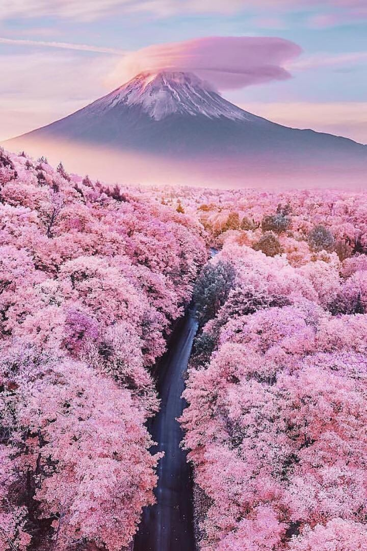 Mt Fuji overlooking a sea of blossom trees - Japan - 15 Truly Astounding Places To Visit In Japan. #Tokyo #Japan #Travel #Nature #MtFuji #Blossom