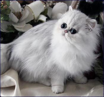 Build Or Paint The House Exquisite Award Winning Chinchilla And Shaded Silver Persians Persian Kittens Persian