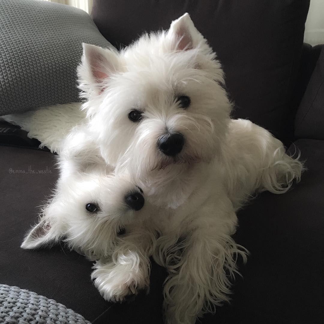 Instagram Photo By Emma Eve May 5 2016 At 8 35pm Utc Westies Westie Dogs Westie Puppies