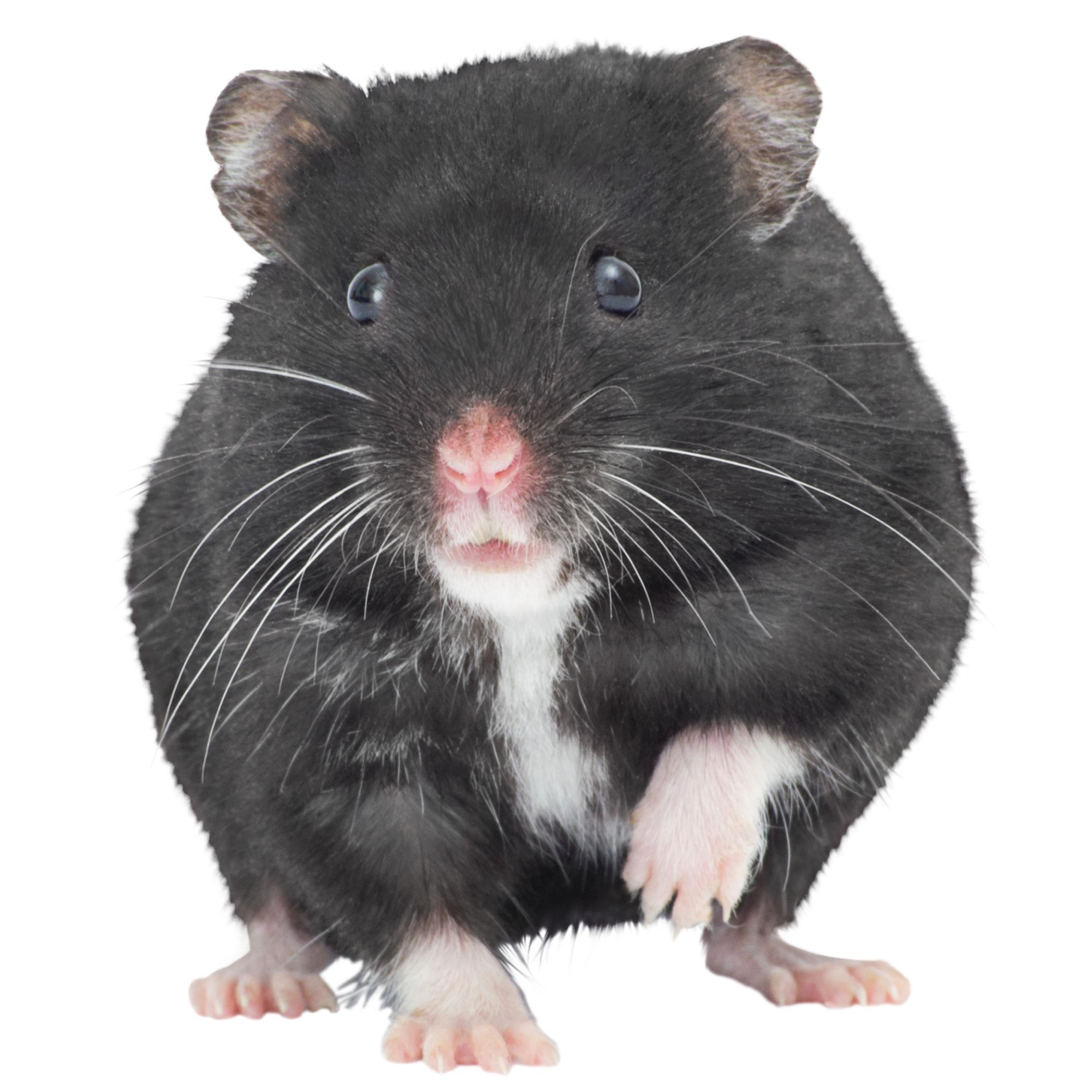 Russian Dwarf Hamster Russian dwarf hamster, Animals, Pets