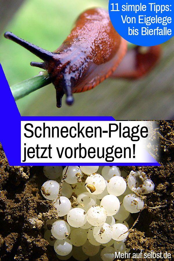 Schneckeneier Selbst De Schnecken Im Garten Nacktschnecken Schneckenplage