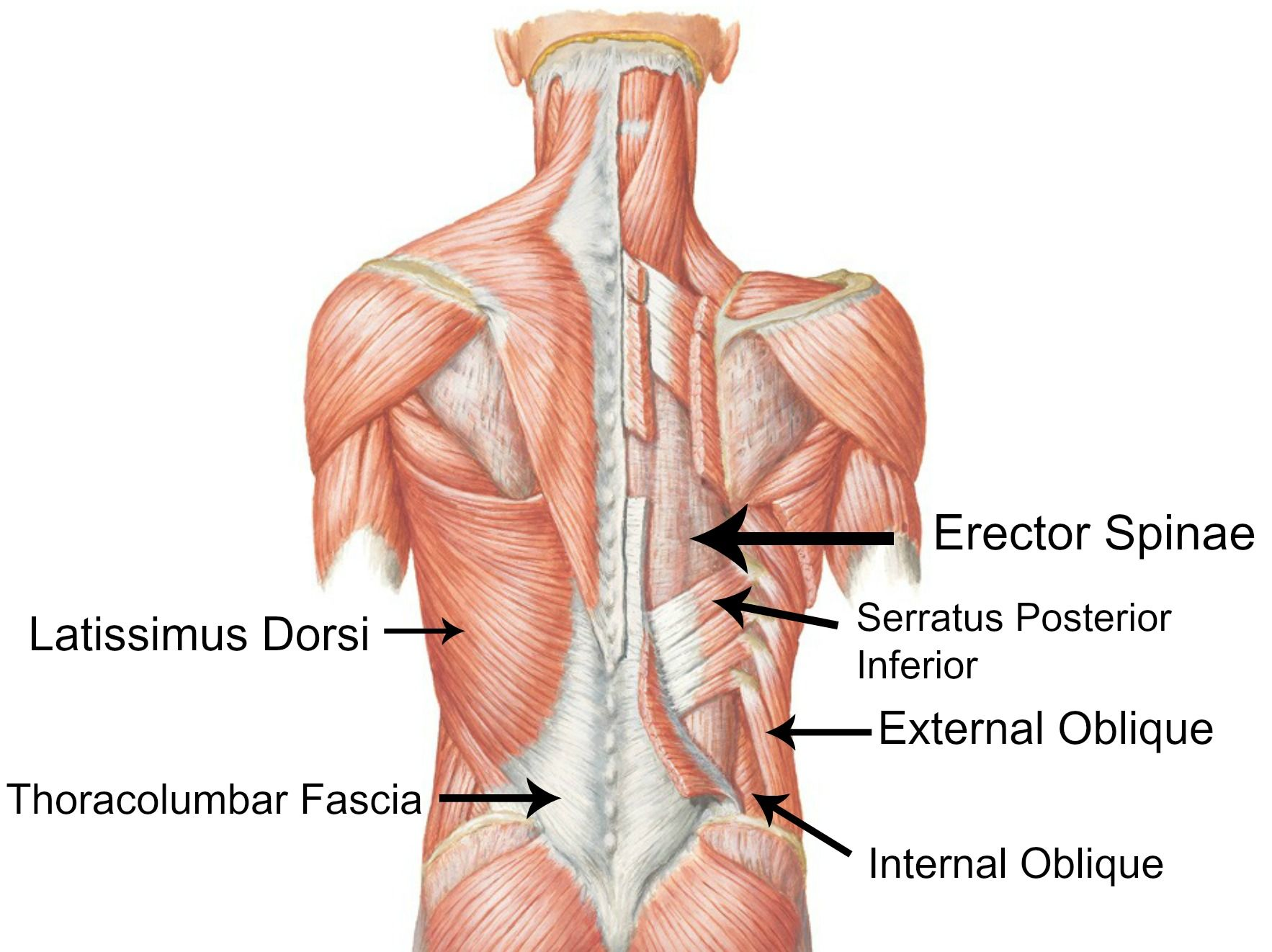 back outer core muscles | The Body in Motion | Pinterest
