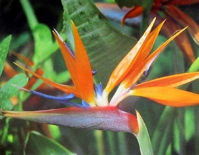 Bird Of Paradise Exotische Blumen Paradies Blumen Paradiesvogel