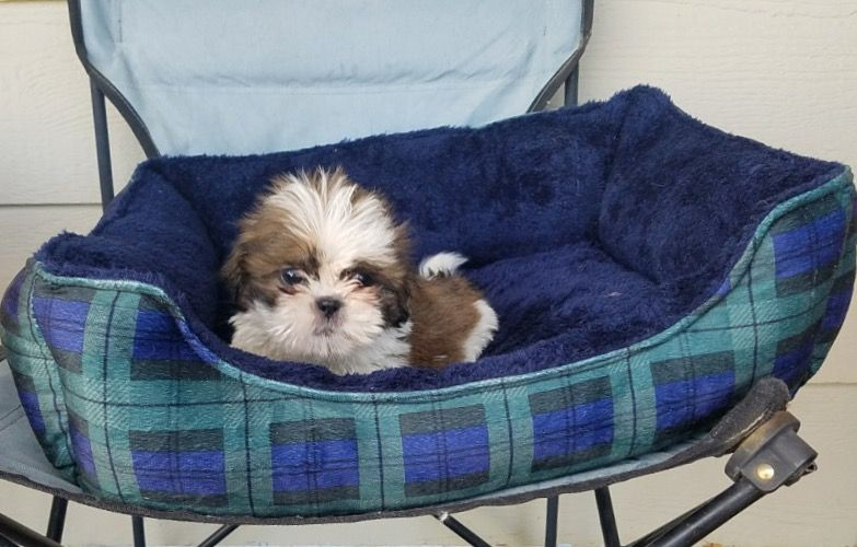 Shih Tzu Puppy For Sale In Los Angeles Ca Adn 55462 On