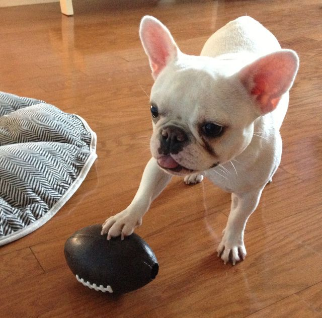 Touchdown Frenchie Frenchbulldog French Bulldog Funny
