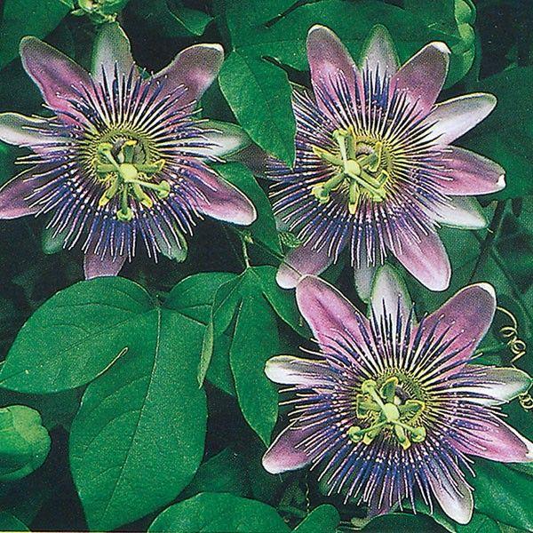 Passion Flower X Alato Caerulea Passiflora Xalato Caerulea Passion Flower Passiflora Caerulea