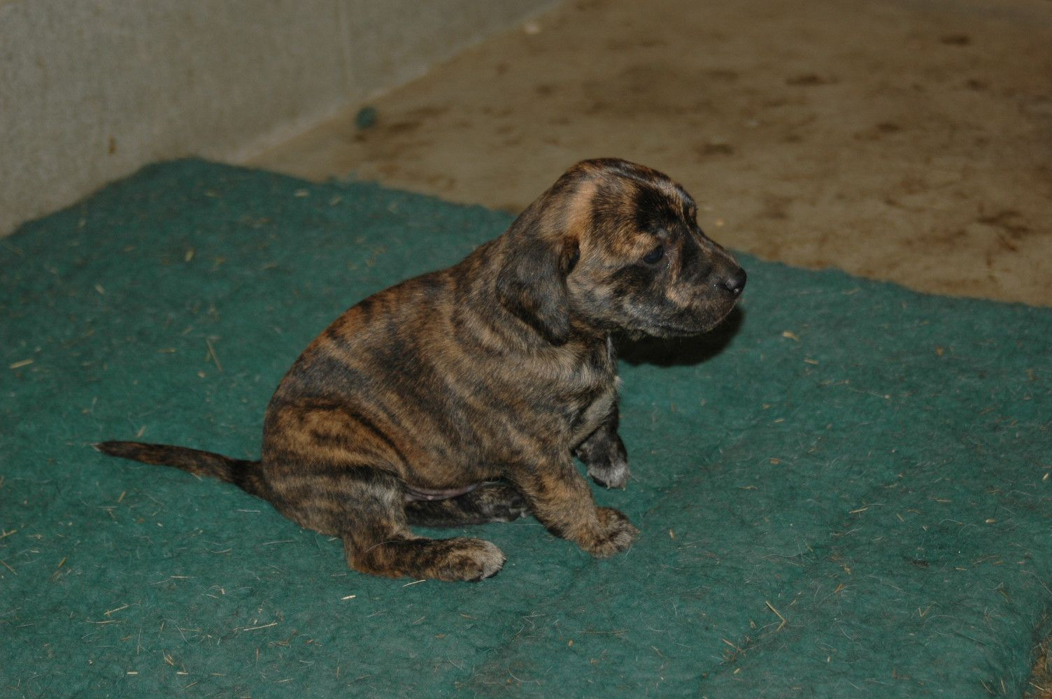 Four Weeks Old Tennessee Treeing Brindle Mountain Cur Puppy