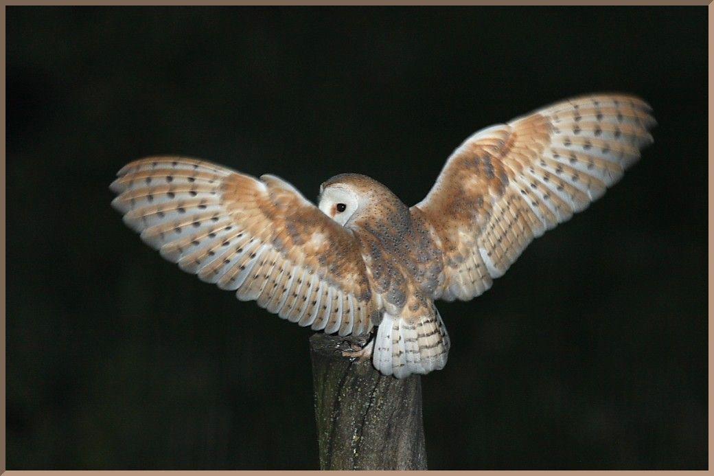 Resultado de imagem para barn owl wings | Animal Anatomy | Pinterest ...