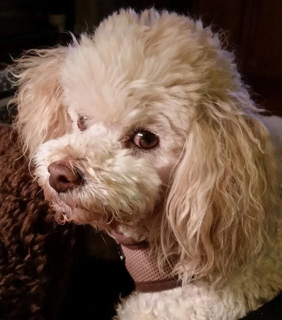 Rudy - Bichon Frise Poodle Mix Dog For Adoption in Austin