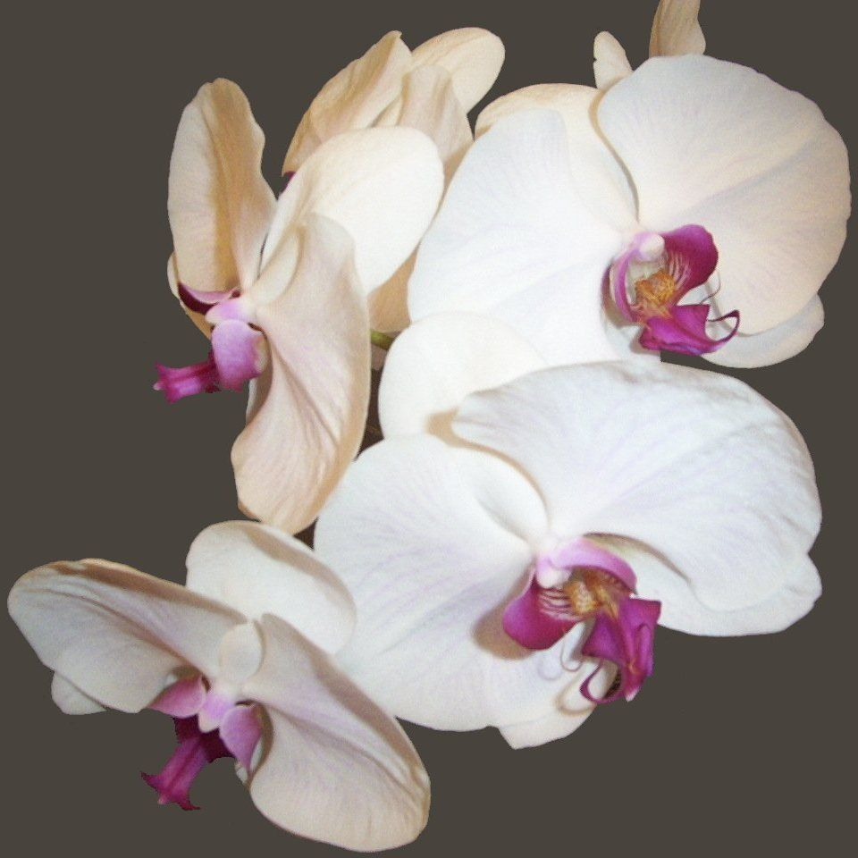 White Phalaenopsis Orchids With Pink Purple Centers Orchid Flower Orchids Phalaenopsis Orchid