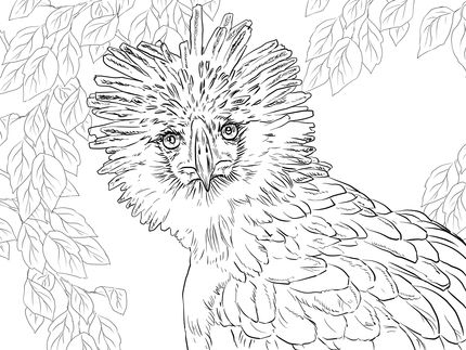 Click To See Printable Version Of Philippine Eagle Portrait