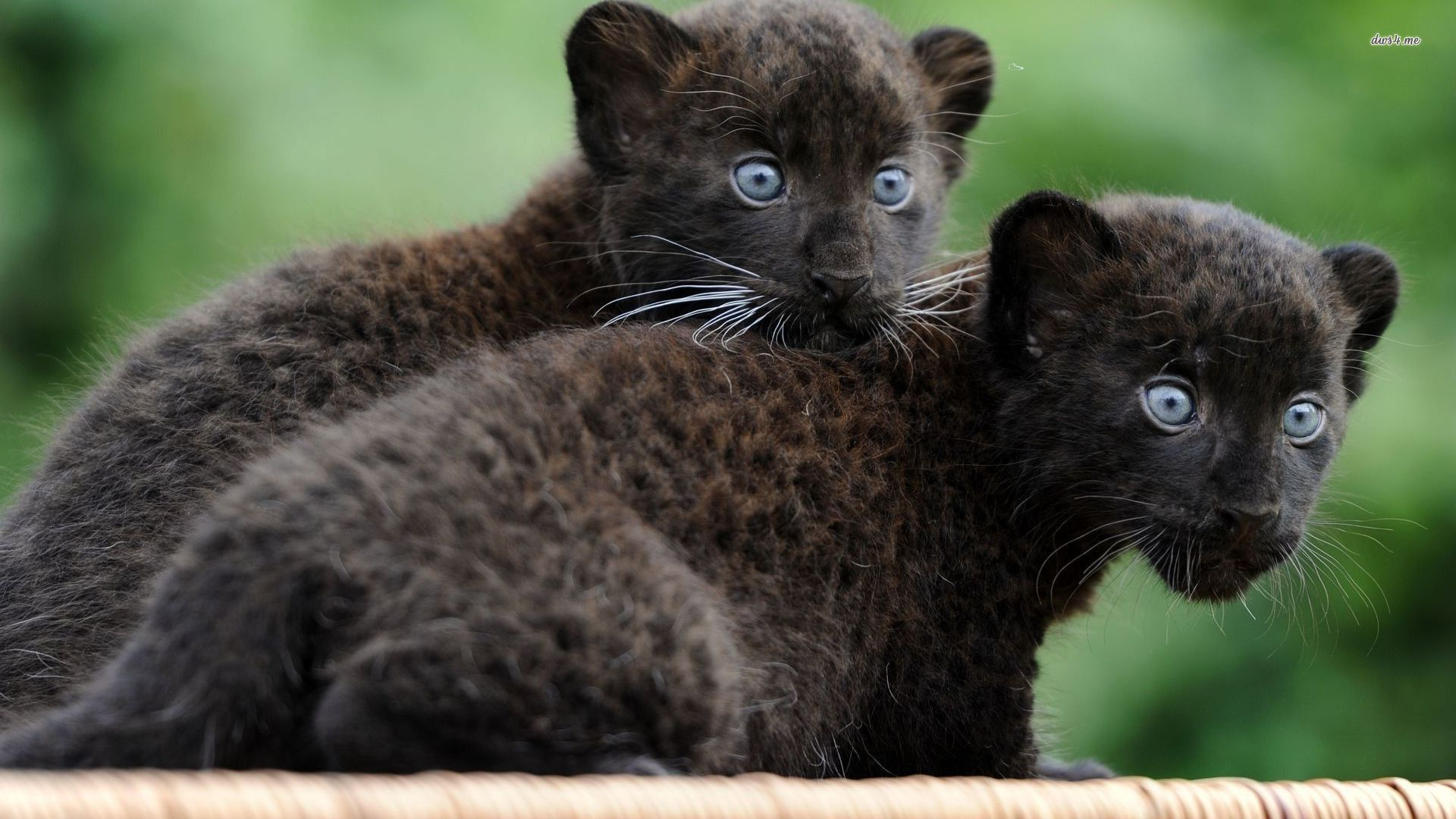 Cute Baby Black Panther Http Ift Tt 2k8xbfj Baby Animals Funny