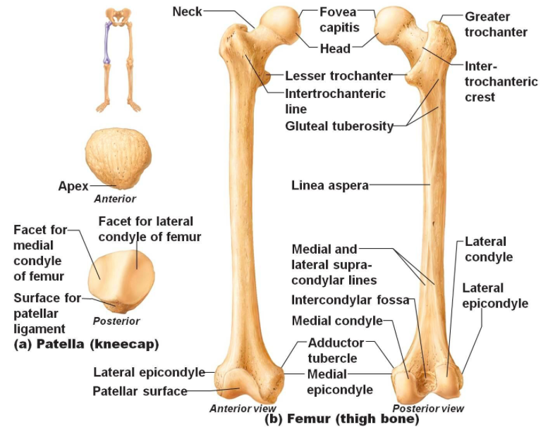 The anterior and posterior views of the femur and the patella bones ...