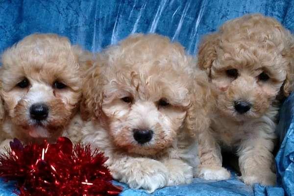 Mini Goldendoodle Puppies 700 900 Creams Brown Black And