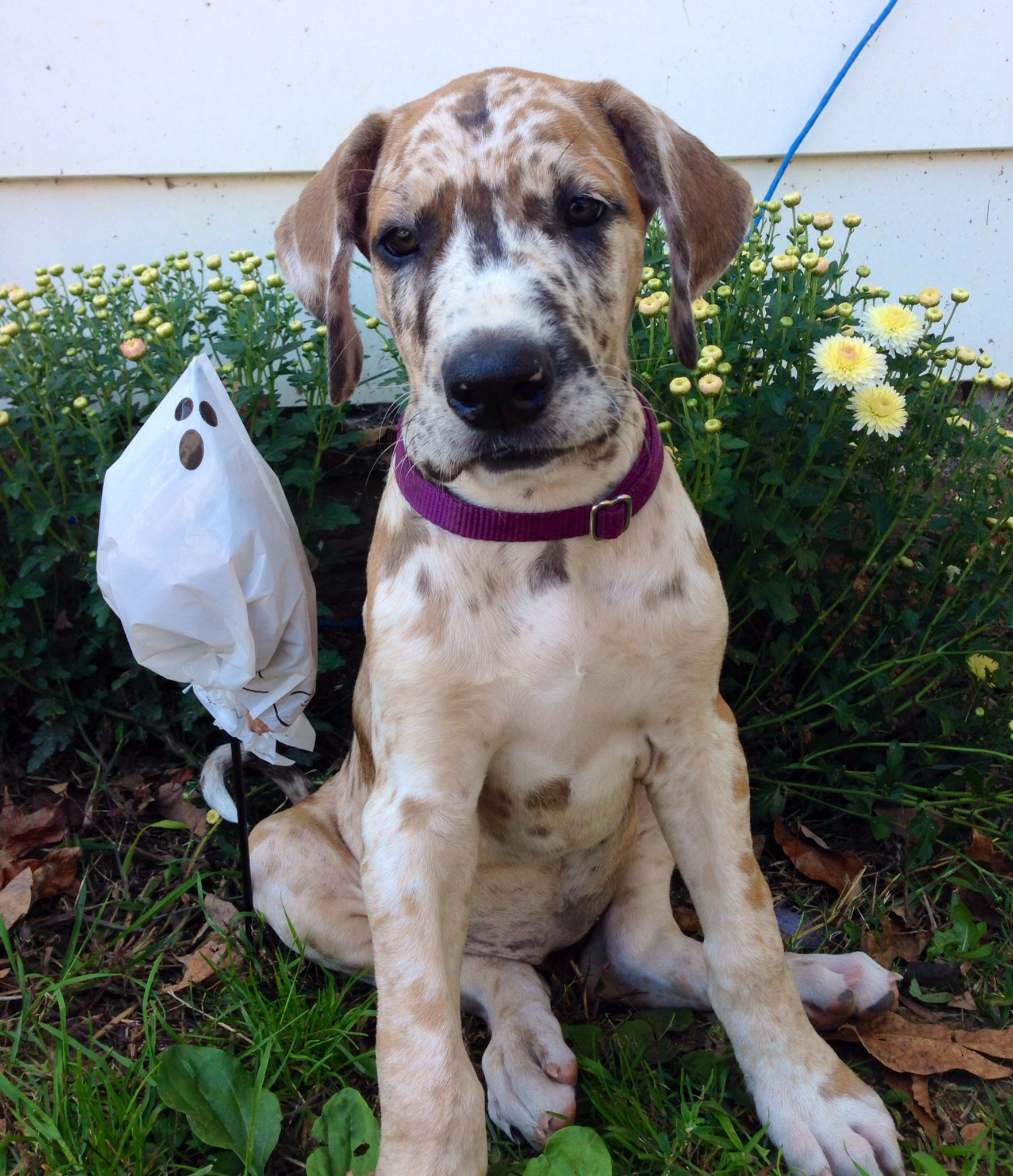 My mismarked chocolate mantle Great Dane girl. Still trying to ...