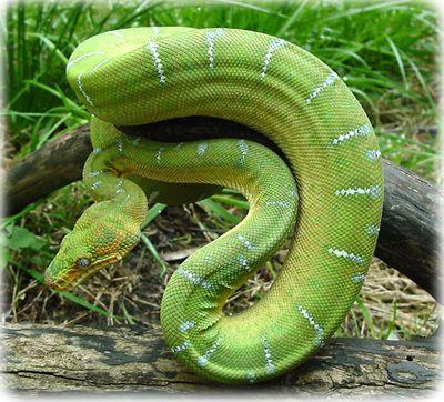 Milk Snake bearded dragon habitat, iguan, milk snake