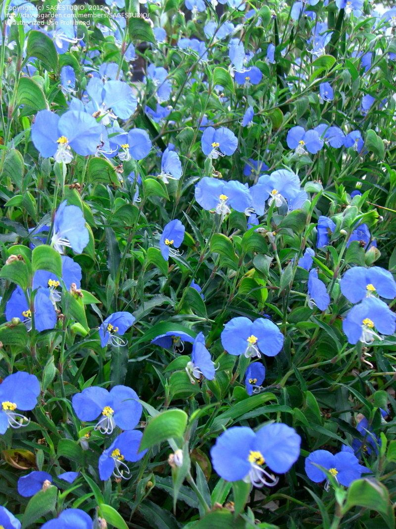 ASIATIC DAYFLOWER Trees to plant, Planting flowers