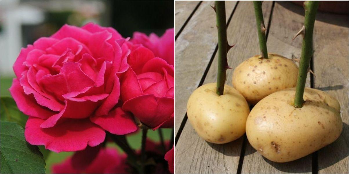 Plantar Esquejes De Rosa En Patatas Sustrato O Hidroponía Cultivo De Rosas Plantar Rosas Esquejes