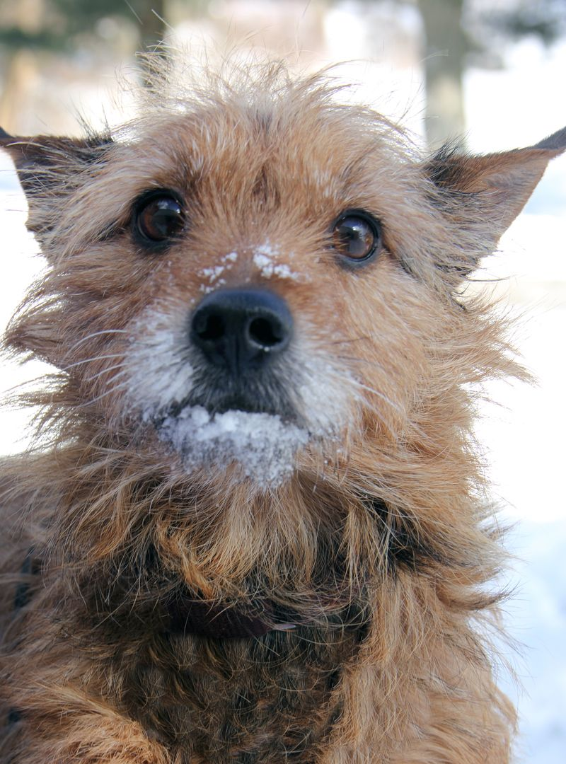 Adopt Scruffy On Petfinder Dogs Small Terrier Dog Adoption
